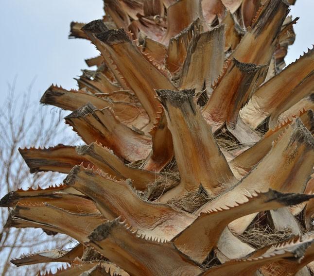 taille de palmiers à Montpellier