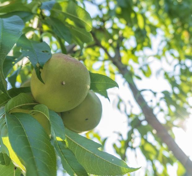 taille d'arbres fruitiers à Montpellier